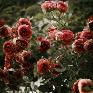roses-red
